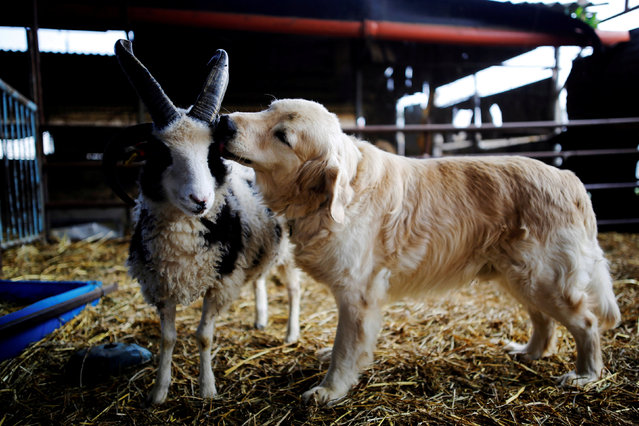 A dog licks the head of a Jacob sheep, in Ramot Naftali, Israel, February 21, 2018. Picture taken February 21, 2018. (Photo by Amir Cohen/Reuters)