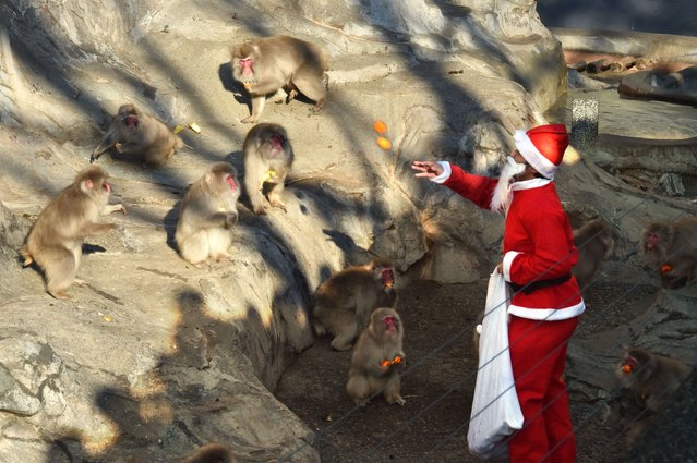 """A zookeeper wearing a Santa Claus costume feeds fruit and vegetables to Japanese macaques at Tokyo's Ueno Zoo on December 24, 2014. The event was part of an annual """"Christmas gifts"""" attraction. (Photo by Yoshikazu Tsuno/AFP Photo)"""