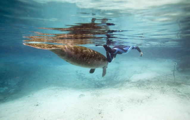 A Florida manatee swims by a snorkeler inside of Three Sisters Springs in Crystal River, Florida January 15, 2015. (Photo by Scott Audette/Reuters)