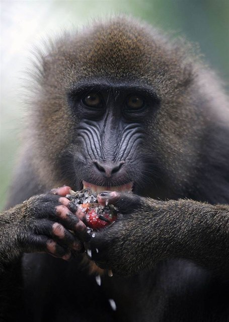 A mandrill refreshes itself with seeds from a giant sunflower, corn and strawberry ice on July 23, 2013 at the Zoo de La Flèche in France. (Photo by Jean-francois Monier/AFP Photo)