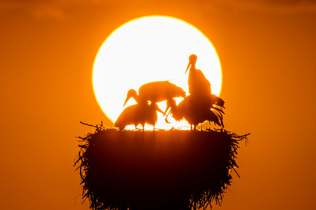"""Storks in their nest during sunset at lake """"Greifensee"""", in Riedikon, Switzerland, 10 July 2018. (Photo by Christian Merz/EPA/EFE)"""