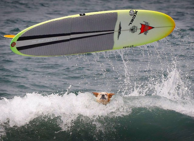 """The surfboard for """"Skyler"""",' Homer Henard's red heeler, of Santa Cruz, goes airborne during the 2018 Imperial Beach Surf Dog Competition next to the Imperial Beach Pier in San Diego, California on July 28, 2018. (Photo by Howard Lipin/San Diego Union-Tribune via ZUMA Press/Rex Features/Shutterstock)"""