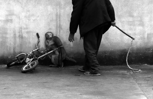 Yongzhi Chu, a Chinese photographer, won the First Prize in the Nature Category, Singles, of the 2015 World Press Photo contest with this picture of a a monkey being trained for circus cowering as its trainer approaches in Suzhou, in this picture taken November 29, 2014 and released by the World Press Photo on February 12, 2015. (Photo by Yongzhi Chu/Reuters/World Press Photo)