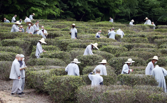 Monks harvest the first green tea leaves of the season at a farm of Tongdo Temple in Yangsan, 420 kilometers southeast of Seoul, South Korea, 23 April 2021. (Photo by Yonhap/EPA/EFE)