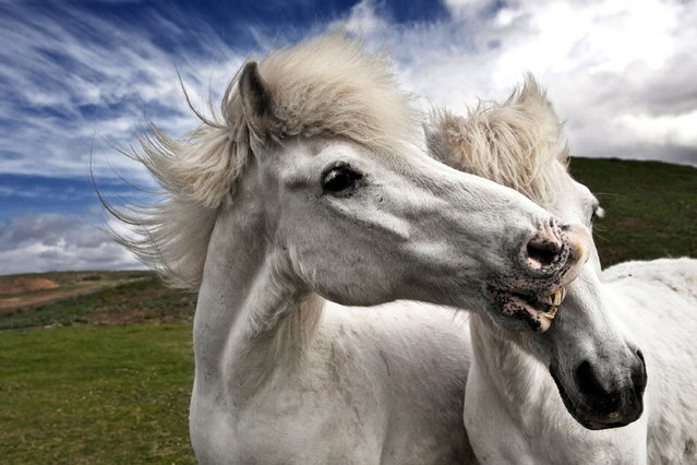 Two horses lovingly lean against each other. (Photo by Bragi J. Ingibergsson/Caters News)