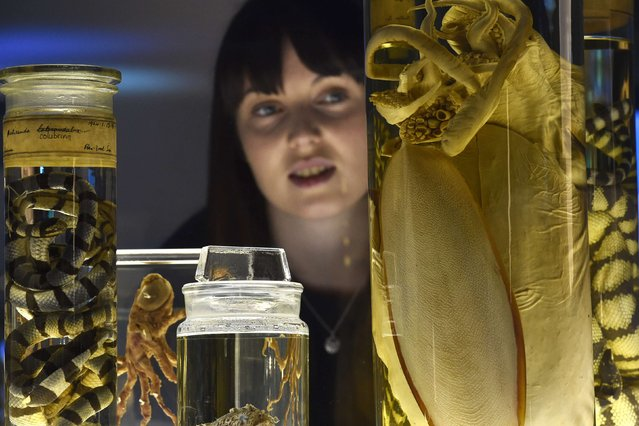 Museum employee Vicky views cuttlefish and sea snake specimens at the Natural History Museum in west London March 25, 2015. (Photo by Toby Melville/Reuters)