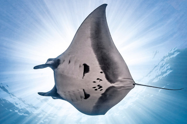 An underwater photographer has snapped the first sighting in 16 years of manta rays on a small island off the coast of Mexico. Nick Polanszky, 31, has been interested in marine life since a young age and started underwater photography five years ago. The photos were taken over the course of three months from June this year at La Reina, an island in the Sea of Cortez off the coast of Baja California Sur. Here: Divers swim alongside the giant Manta Rays. (Photo by Nick Polanszky/Caters News Agency)