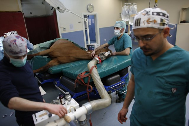 A veterinarian (L) monitors a horse undergoing surgery on a fractured leg at Veliefendi equine hospital in Istanbul March 3, 2015. (Photo by Murad Sezer/Reuters)