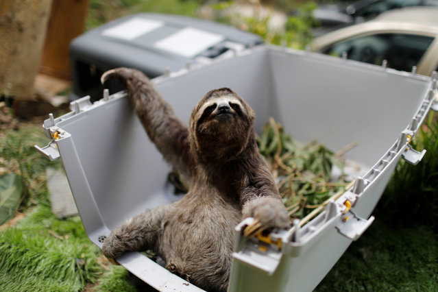 """Brown-throated sloth called """"43"""", rescued by Juan Carlos Rodriguez and his wife Haydee in a residential area, waits in the kennel getting prepared for being released, at the couple's shelter for sloths, in San Antonio, Venezuela on July 30, 2021. (Photo by Leonardo Fernandez Viloria/Reuters)"""