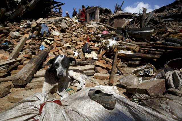 A dog sits in front of a mound of rubble of collapsed houses after Saturday's earthquake in Bhaktapur, Nepal April 27, 2015. (Photo by Navesh Chitrakar/Reuters)