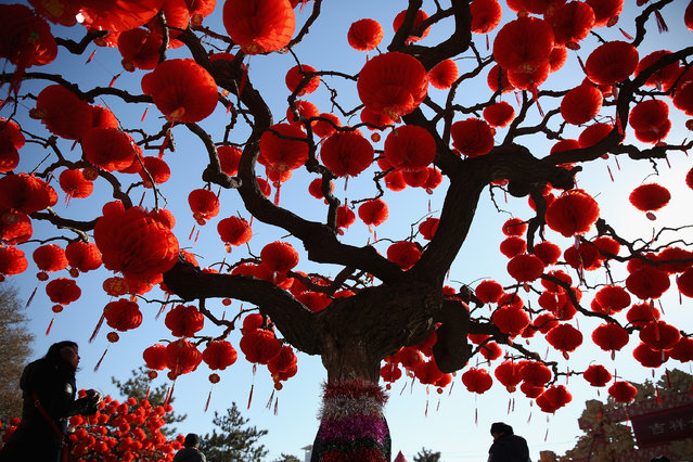 A Visitor passes the trees decorated with red lanterns at the Spring Festival Temple Fair for celebrating Chinese Lunar New Year of Horse at the Temple of Earth park on January 30, 2014 in Beijing, China. The Chinese Lunar New Year of Horse also known as the Spring Festival, which is based on the Lunisolar Chinese calendar, is celebrated from the first day of the first month of the lunar year and ends with Lantern Festival on the Fifteenth day.  (Photo by Feng Li/Getty Images)