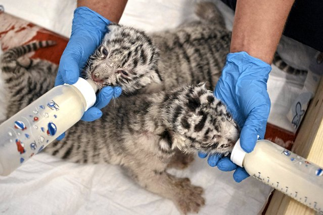 Newborn white Bengal tigers, a male and female born on April 18, are being fed by their guardians at a private zoo in Borysew near Lodz, central Poland April 28, 2015. (Photo by Tomasz Stanczak/Reuters/Agencja Gazeta)
