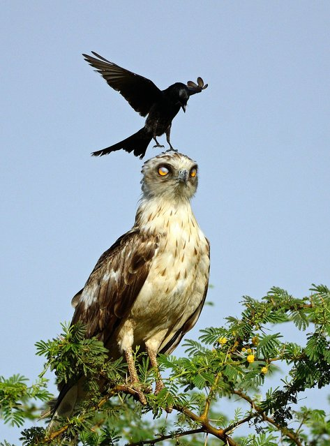 A crow lands on the eagles head much to the eagles displeasure. (Photo by Greaves B. Henriksen/Caters News Agency)