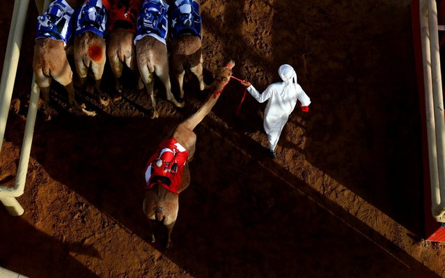 Handlers prepare camels to race during Al Marmoom Heritage Festival at the Al Marmoom Camel Racetrack 2on April 09, 2019 in Dubai, United Arab Emirates. The festival promotes the traditional sport of camel racing within the region. (Photo by Francois Nel/Getty Images)