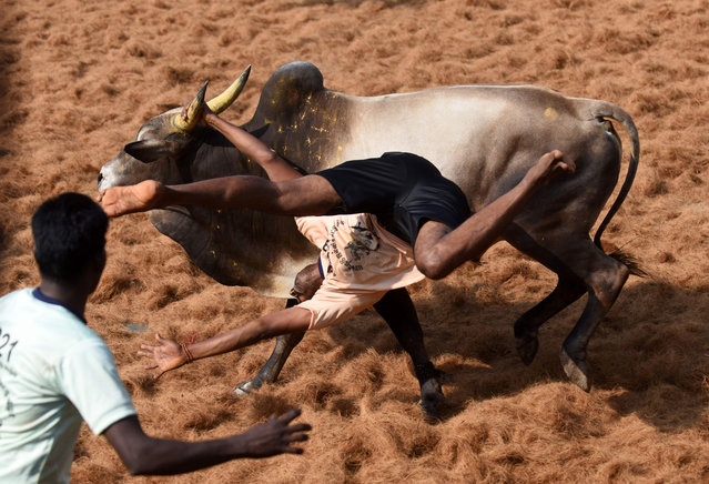"""An Indian bull throws a """"bullfighter"""" during an annual bull taming event """"Jallikattu"""" in the village of Palamedu on the outskirts of Madurai on February 9, 2017. (Photo by Arun Sankar/AFP Photo)"""