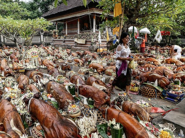 Each year few hundreds roasted pigs are gathered in the temple during annual ceremony as act of sacrifice to Goddess Durga. (Photo by Putu Sayoga/Getty Images)