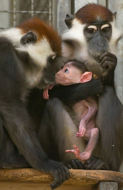 A collared mangabey monkey Sina (R) holds its offspring next to another female Gina on February 25, 2014 at the zoo in Berlin their offspring in her arms. (Photo by Tim Brakemeier/AFP Photo/DPA)