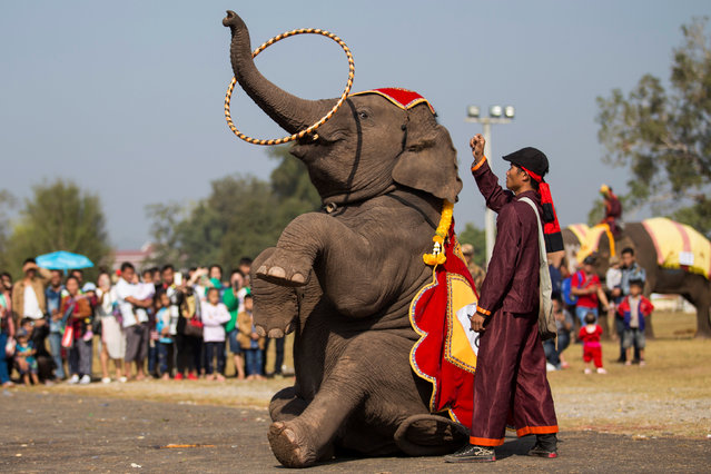 An elephant takes part in the rehearsal before the opening of the elephant festival, which organisers say aims to raise awareness about elephants, in Sayaboury province, Laos February 17, 2017. (Photo by Phoonsab Thevongsa/Reuters)