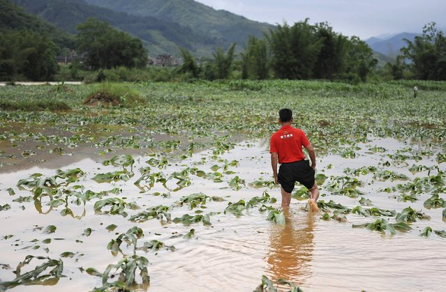 A farmer walks among a flooded corn field after heavy rainfall hit Luocheng Mulao Autonomous County, Guangxi Zhuang Autonomous Region, China, May 15, 2015. Torrential rain and thunderstorms swept parts of south China on Thursday, while the National Meteorological Center (NMC) on Friday issued a yellow alert for downpours for 11 provinces, local media reported. (Photo by Reuters/China Daily)