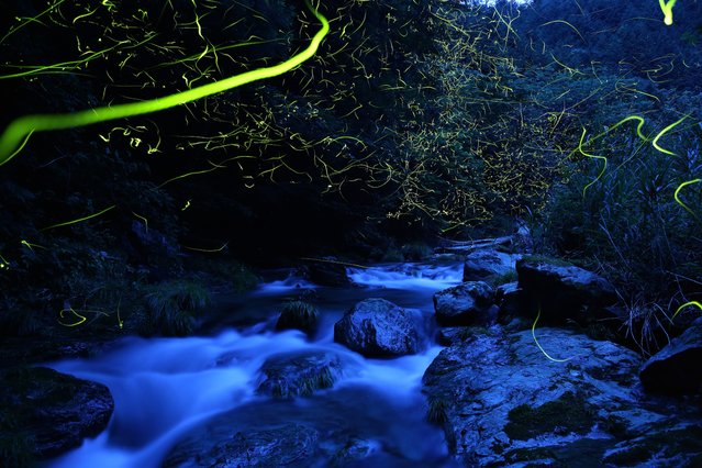 """In the late afternoon after a rain, genji botaru fireflies (luciola cruciate) dance above the swollen creek. The rocks darkened by the rain reflecting the blue sky, and the yellow-green ribbon of the glow from the fireflies, make a beautiful contrast"". – Takehito Miyatake. (Photo by Takehito Miyatake/Steven Kasher Gallery)"
