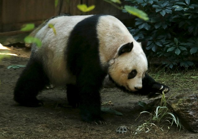 Giant panda Jia Jia walks on her 37-year-old birthday at the Hong Kong Ocean Park, China, July 28, 2015. (Photo by Bobby Yip/Reuters)