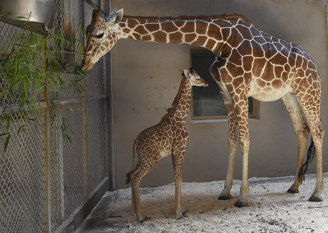 This June 28, 2017 photo provided by The Maryland Zoo shows a baby giraffe, Julius, and his mother, Kesi, at the zoo in Baltimore. The three-week-old baby giraffe has been placed in intensive care at a Maryland zoo after a sudden change in its bloodwork. The calf has been struggling since he was born June 15 at The Maryland Zoo. (Photo by Jeffrey F. Bill/The Maryland Zoo via AP Photo)