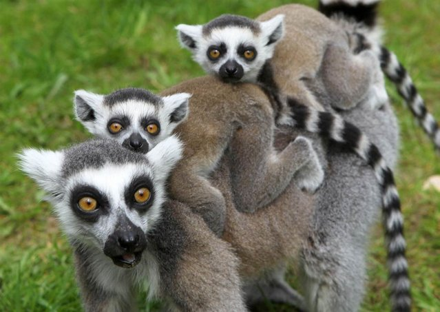 A ring-tailed lemur and her two cubs discover their enclosure at the zoo in Marlow, eastern Germany, on May 10, 2012