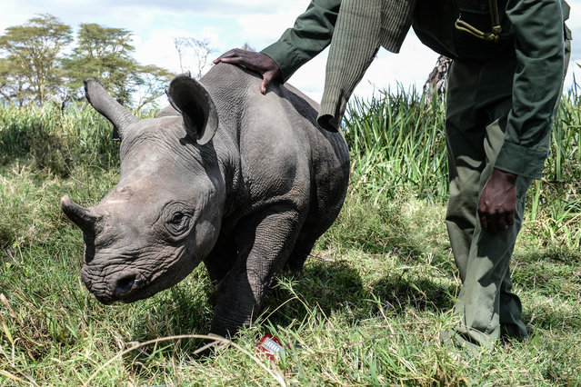 Orphaned baby rhinos seen on August 28, 2014 in Lewa Wildlife Conservancy, Ngare Ndare Forest, Kenya. Lewa Wildlife Conservancy in Kenya is hand-raising three orphaned baby rhinos; Nicky, Hope and Kilifi. (Photo by Luca Ghidoni/Barcroft Media)