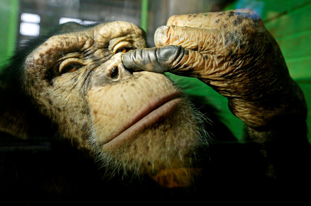 Anfisa, a twelve-year-old female chimpanzee, picks its nose at the Royev Ruchey Zoo in a suburb of the Siberian city of Krasnoyarsk, Russia October 18, 2017. (Photo by Ilya Naymushin/Reuters)