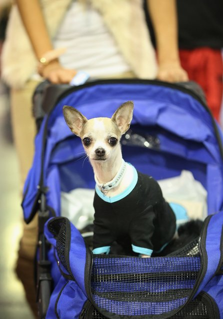 Anny, a kind of dog called a teacup chihuahua, rides in a baby pram pushed by her owner at the pet trade fair (Heimtiermesse) at Velodrom on November 2, 2012 in Berlin, Germany. Exhibitors are showing the latest trends in collars, snacks and other accessories for cats, dogs and other household pets.  (Photo by Sean Gallup)