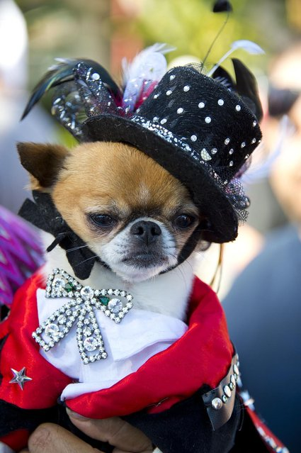 Pekingese-chihuahua mix Rico Suave is dressed as Liberace at a Halloween dog costume parade and contest in Long Beach, California, October 28, 2012. (Photo by Robyn Beck/AFP Pfoto)