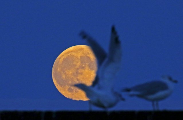 The supermoon raises behind seagulls on the beach in Evanston, Illinois, September 26, 2015. Sky-watchers around the world were treated when the shadow of Earth cast a reddish glow on the moon, the result of rare combination of an eclipse with the closest full moon of the year. (Photo by Jim Young/Reuters)
