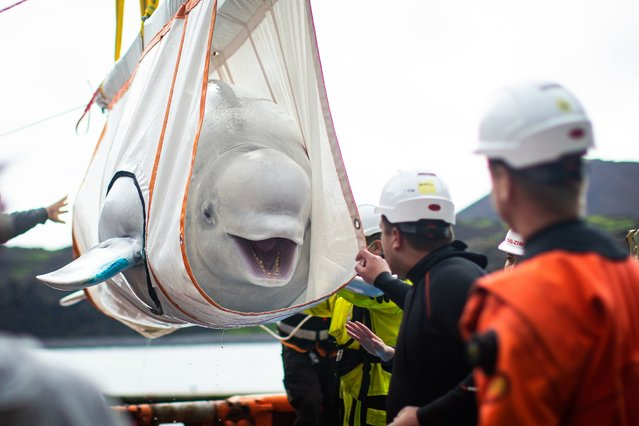 The Sea Life Trust team move Beluga Whale Little Gray from a tugboat during transfer to the bayside care pool where they will be acclimatised to the natural environment of their new home at the open water sanctuary in Klettsvik Bay in Iceland on August 7, 2020. The two Beluga whales, named Little Grey and Little White, are being moved to the world's first open-water whale sanctuary after travelling from an aquarium in China 6,000 miles away in June 2019. (Photo by Aaron Chown/PA Images via Getty Images)