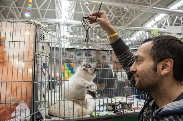 A cat plays with his owner as he is kept in a cage during the first day of the Super Cat Show 2014, on November 8, 2014 in Rome, Italy. (Photo by Giorgio Cosulich/Getty Images)