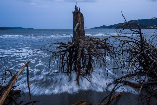 """This picture by Australian photographer, Daniel Berehulak commissioned by Getty Images News Service won the 3rd Prize Stories for """"Japan After the Wave"""" in the category """"General News"""" in the 56th World Press Photo Contest, that was announced by the organizers on 15 February 2013 in Amsterdam, The Netherlands. Pine trees uprooted during the tsunami lay strewn over the beach. One year later, areas of Japan most impacted by the earthquake and subsequent tsunami that left 15,848 dead and 3,305 missing, continue to struggle. Thousands of people remain living in temporary dwellings. The government faces an uphill battle with the need to dispose of rubble as it works to rebuild economies and livelihoods. The picture is dated 07 March 2012, Rikuzentakata, Japan. (Photo by Daniel Berehulak/EPA)"""