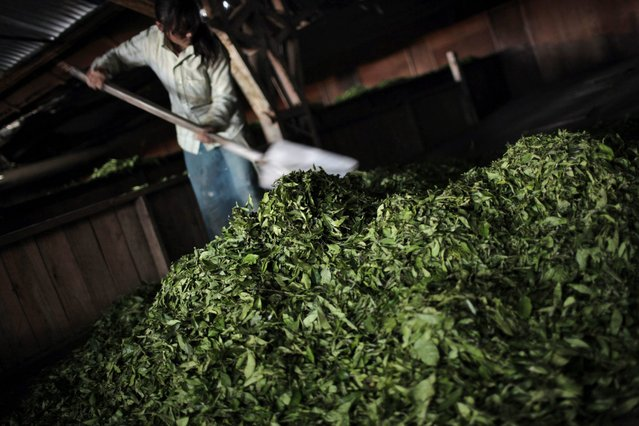 In this Sunday, November 16, 2014 photo, a Nepalese farmer collects tea leaves before it is processed at Kanyam Tea Factory in Illam district, around 500 kilometers (310 miles) from Katmandu, Nepal. (Photo by Niranjan Shrestha/AP Photo)