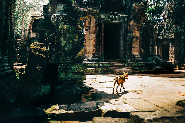 A stray dog roams the ruins of a temple. (Photo by Alex Teuscher/Caters News)