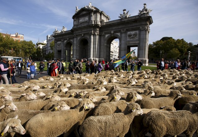 A flock of around 2000 merino sheep walk past in front of Madrid's Alcala Gate during the annual sheep parade through Madrid, Spain, October 25, 2015. (Photo by Sergio Perez/Reuters)