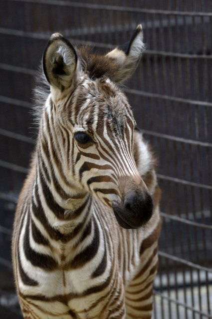A four-day old zebra foal stands in the zebra house of the Budapest Zoo in Budapest, Hungary, Thursday, January 8, 2015. The foal is the first animal born in the new year of 2015 in the zoo. (Photo by Attila Kovacs/AP Photo/MTI)