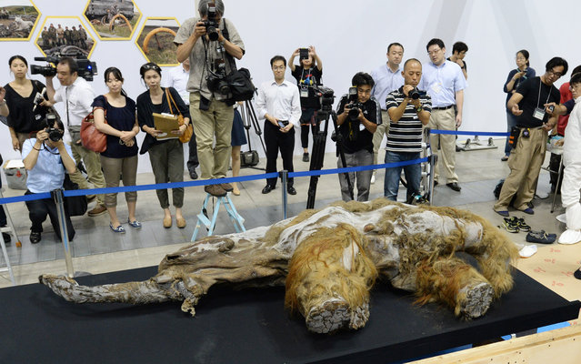 A 39,000-year-old female baby woolly mammoth named Yuka from the Siberian permafrost is unveiled for the media at an exhibition in Yokohama, suburban Tokyo on July 9, 2013. The frozen woolly mammoth will be exhibited from July 13 until September 16. (Photo by Kazuhiro Nogi/AFP Photo)