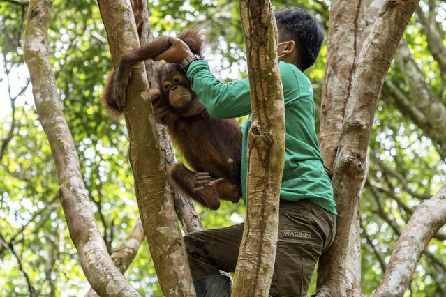 """These picture show a rescued orangutan on its first day at """"Forest School"""" on February 25, 2021 learning to climb a tree – after it developed a fear of heights in captivity. Kukur is just five-years-old and was rescued from a hut in West Borneo where he was being kept tied up as an illegal pet. He has now started the rehabilitation process as he learns to climb properly. Carers say life in captivity many apes like Kukur develop a fear of heights. (Photo by IAR Indonesia/Action Press/South West News Service)"""