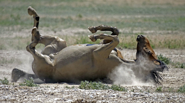 In this June 29, 2018 photo, a wild horse rolls in the dust after drinking from a watering hole outside Salt Lake City. Harsh drought conditions in parts of the American West are pushing wild horses to the brink and forcing extreme measures to protect them. (Photo by Rick Bowmer/AP Photo)