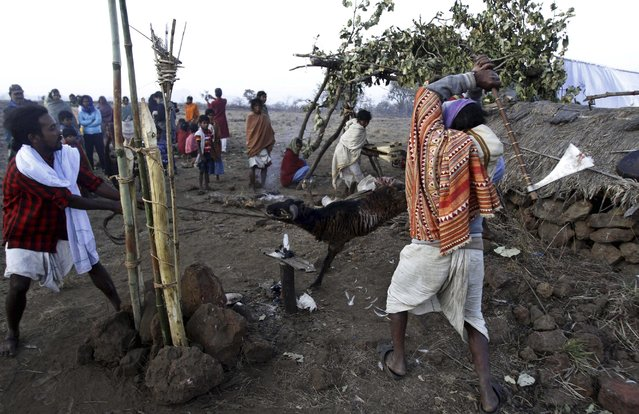 Members of India's Dongria tribe sacrifice a goat during the two-day long Niyamraja Festival atop the Niyamgiri hills near Lanjigarh in Kalahandi district, Orissa state, India, Sunday, February 22, 2015. (Photo by Biswaranjan Rout/AP Photo)