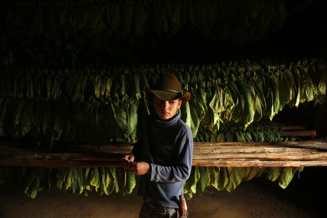 The son of a farmer stands in front of tobacco leaves inside a curing barn at a tobacco plantation in the valley of Vinales, in the western Cuban province of Pinar del Rio, January 26, 2015. (Photo by Pilar Olivares/Reuters)