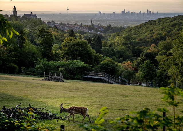 A deer walks on a meadow with the city of Frankfurt in background in Kronberg, Germany, Sunday, September 6, 2020. (Photo by Michael Probst/AP Photo)
