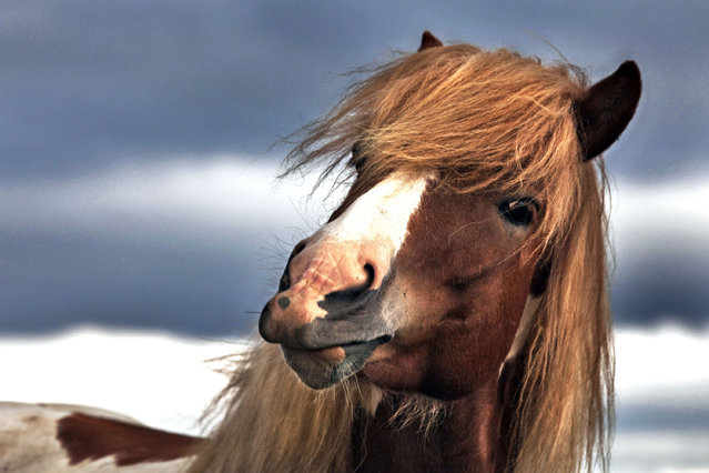 A horse looks straight into the camera. (Photo by Bragi J. Ingibergsson/Caters News)