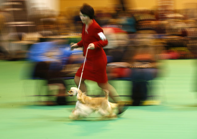 A woman shows an American Cocker Spaniel during the first day of the Crufts Dog Show in Birmingham, central England, March 5, 2015. (REUTERS/Darren Staples)