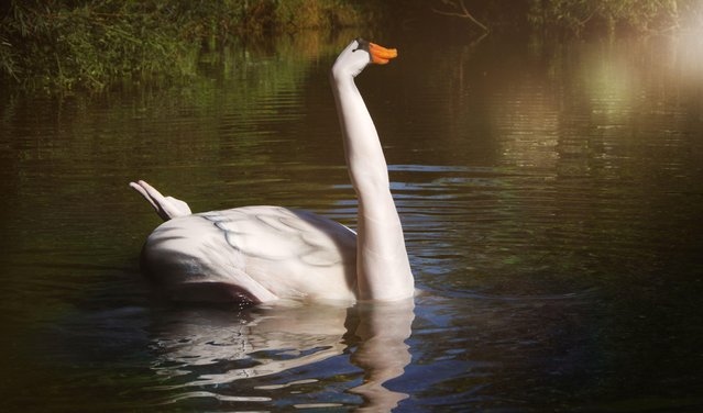 A model places it's arm out of the water to look like a swan in the water, Dortmund, Germany, October, 2016. (Photo by Gesine Marwedel/Barcroft Images)