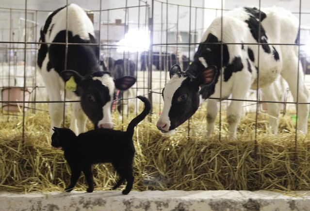 Cows lean towards a cat at the livestock breeding complex and collective farm named after Vasily Chapaev near the Russian southern city of Stavropol, March 17, 2015. (Photo by Eduard Korniyenko/Reuters)