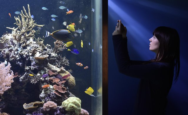 Museum employee Vicky records fish and coral in an aquarium at the Natural History Museum in west London March 25, 2015. (Photo by Toby Melville/Reuters)